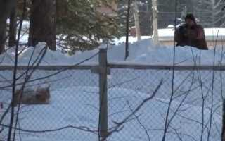 «Один меткий выстрел». Видео, как в Пермском крае усыпляли рысь