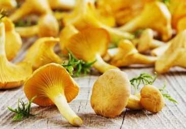 Лекарственные свойства грибов лисичек
