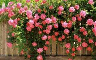 Кустовые розы: чем они лучше обычных?