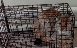 В Пермском крае у больницы поймали рысь