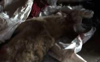 «Порвал пасть голыми руками». В Пермском крае мужчина расправился с хищником, защищая щенка